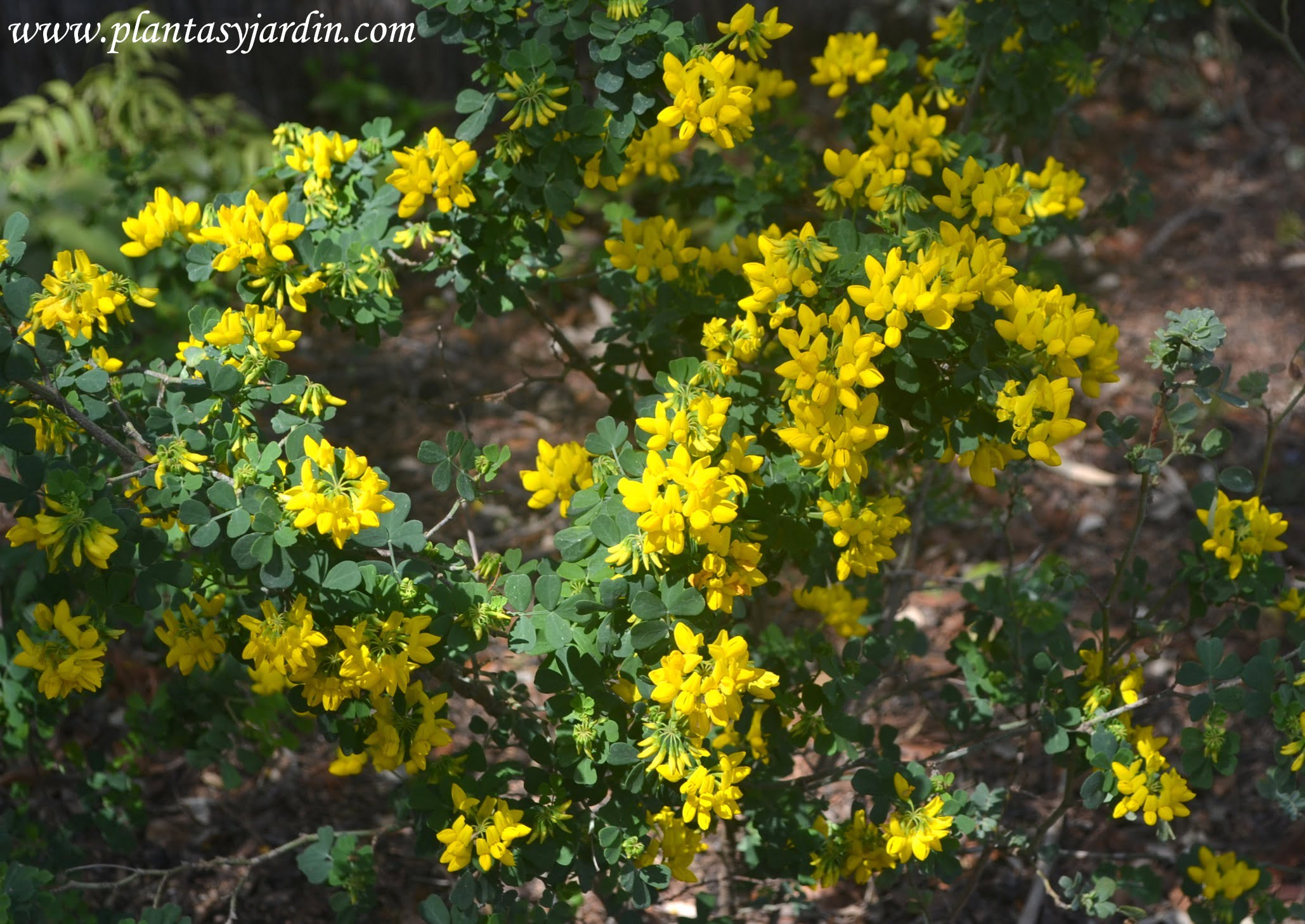 Coronilla glauca florecida a comienzos de la primavera