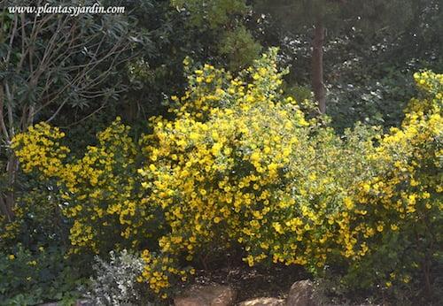 Coronilla glauca o valentina florecida en la primavera