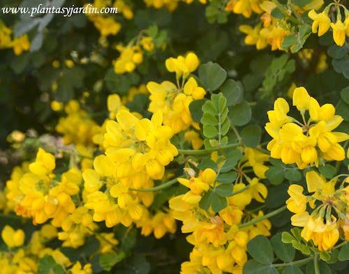 Coronilla glauca sinonimo de Coronilla valentina abundante floracion en primavera