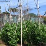 Guisantes o Arvejas cultivados en la huerta