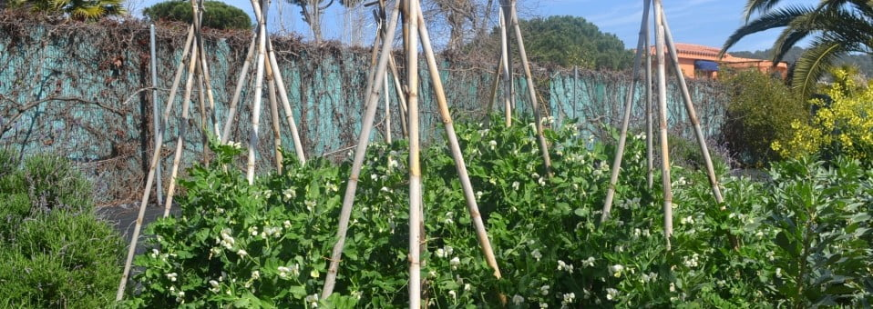 Guisantes o Arvejas, cultivado en la huerta