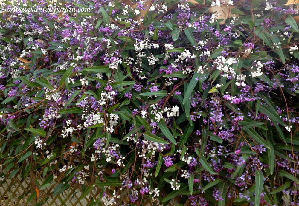 Hardenbergia monophylla o violacea con flores papilionáceas de color blanca o lila