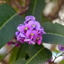 Hardenbergia violacea, arbusto trepador de floracin primaveral