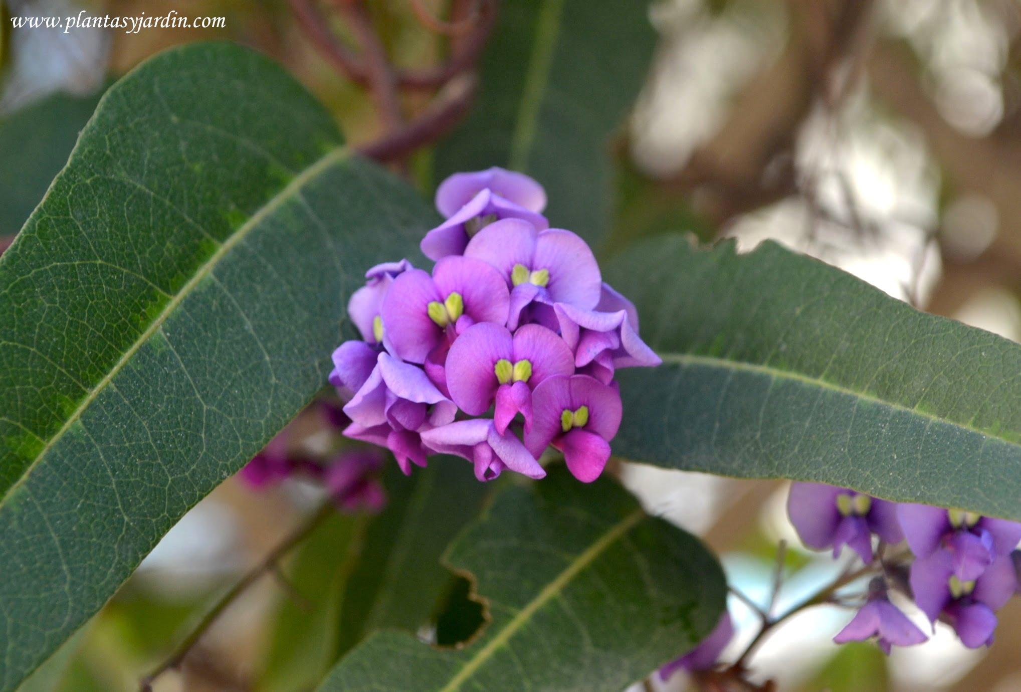 Hardenbergia violacea detalle de flores papilionaceas