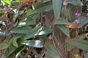 Hardenbergia violacea detalle del follaje