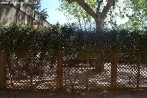 Hardenbergia violacea sinonimo de Hardenberdia monophylla
