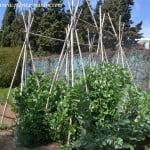 Pisum sativum el cultivo del guisanate o la arveja