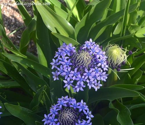 Scilla peruviana detalle de flores agrupadas en racimos umbeliformes