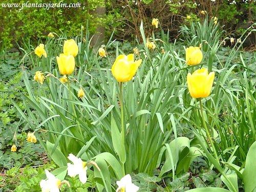Tulipanes amarillos junto con Narcisos en la Promenade Plantée