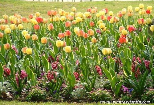 Tulipanes amarillos y naranjas en macizo en el Jardin de Luxembourg