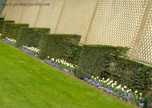 Tulipanes blancos en el Jardin de Luxembourg