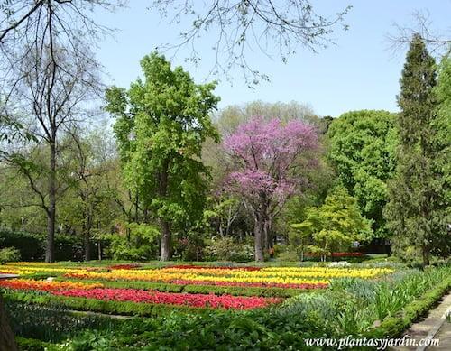 Tulipas cultivadas en parterres florecidas a comienzos de primavera con Cercis siliquastrum de fondo florecido