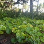 Ligularia tussilaginea especie tapizante cultivada bajo los arboles