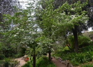 Crataegus mongyna en el Antic Jardi Botanic de Barcelona comienzos de primavera