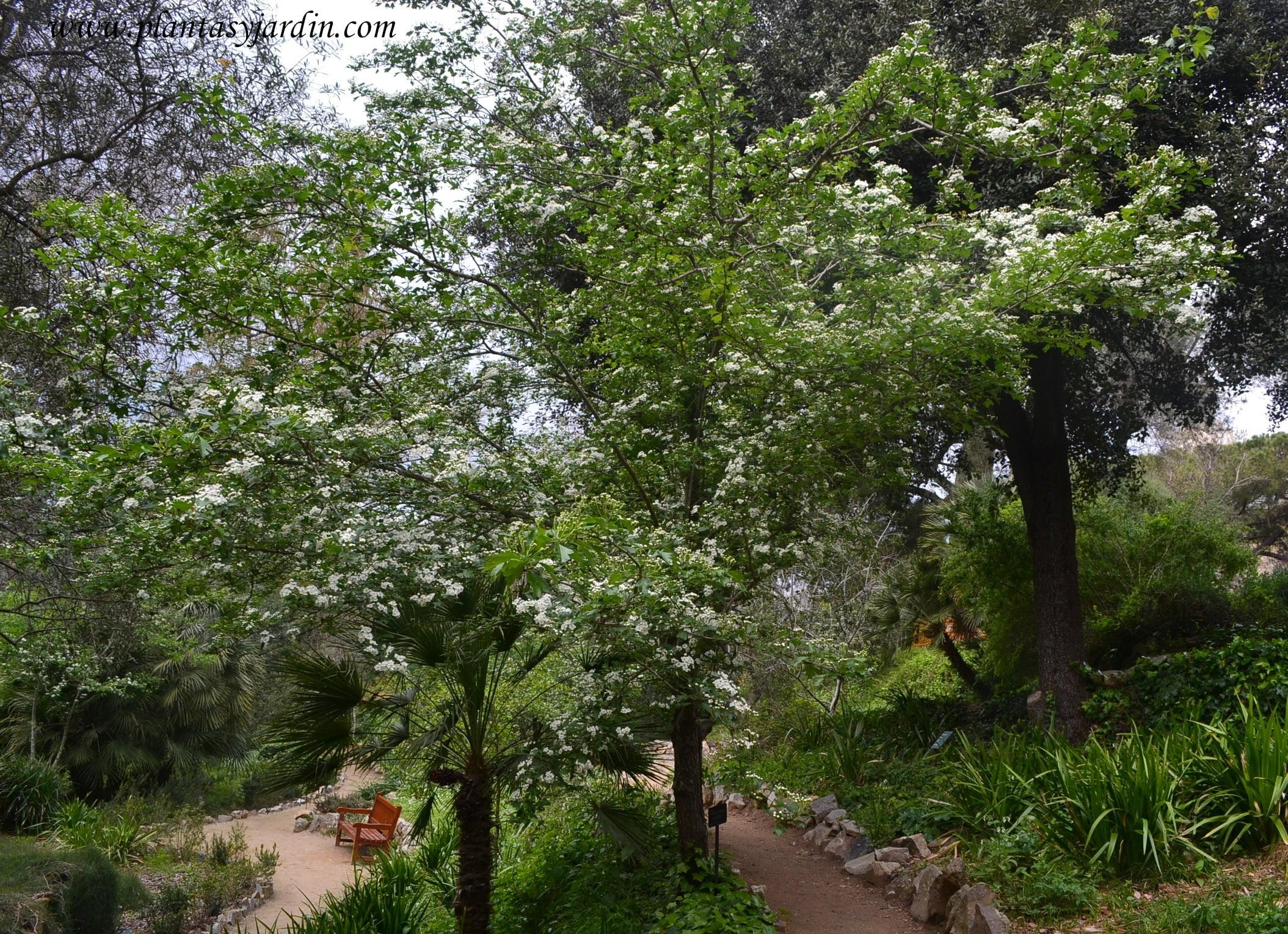 Prunus cerasifera ciruelo japon s mirob land plantas for Arboles de jardin fotos