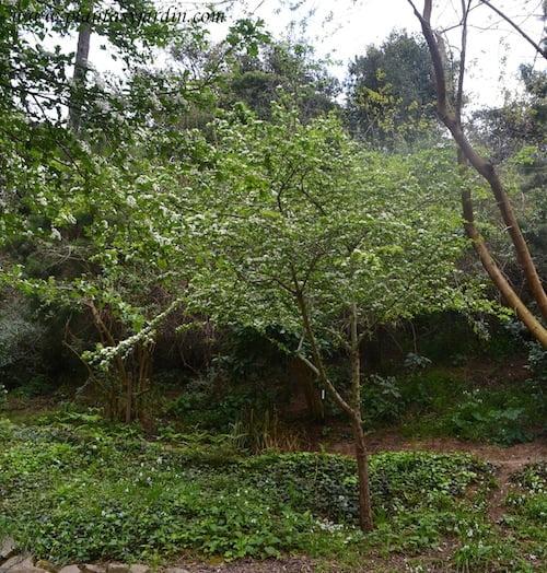 Crataegus monogyna florecido en primavera