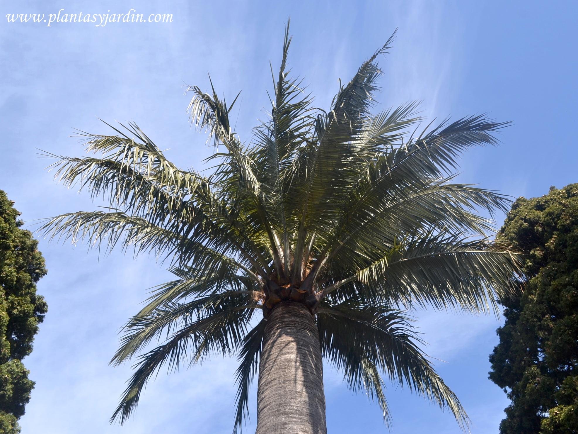 Jubaea chilensis detalle de corona y las hojas pinnadas