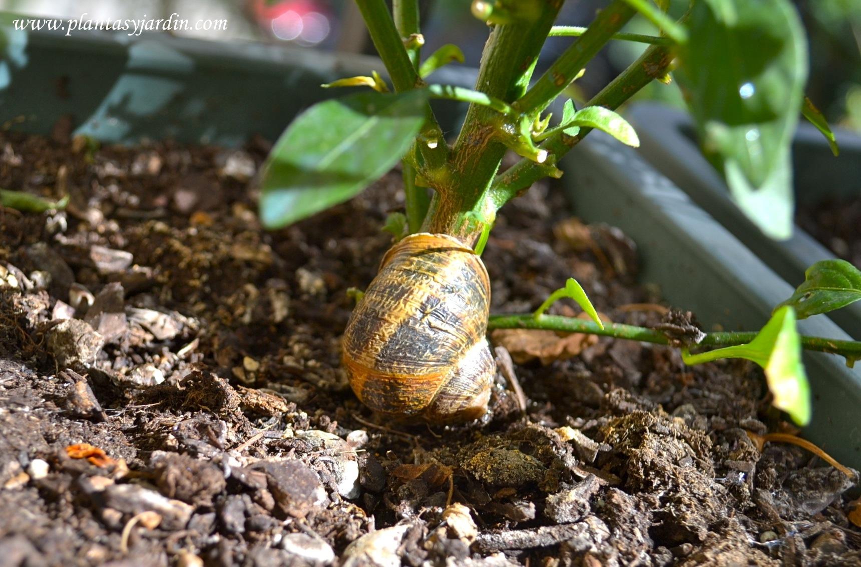 caracol de jardín sobre el tallo de Capsicum