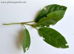 planta atacada por las hormigas mordedura semicircular sobre los bordes de las hojas