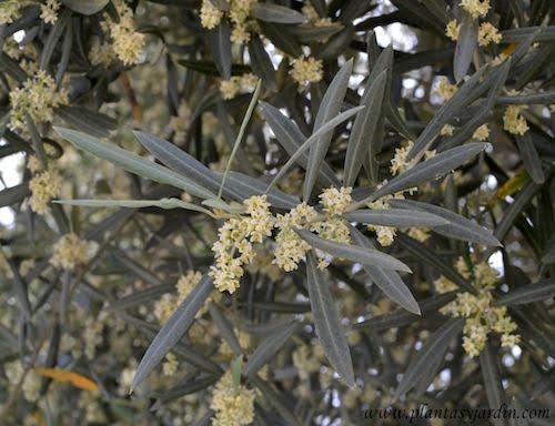 Olea europaea Olivo, detalle de floracion a comienzos de la primavera