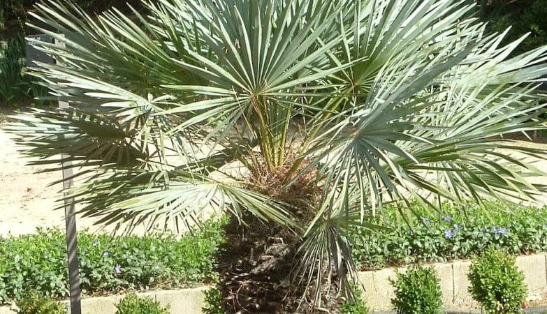 Chamaerops humilis, Palmito única palmera autóctona del Mediterráneo