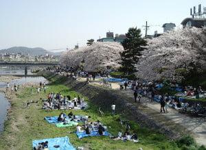 Hanami en el rio Kamogawa Kyoto. Foto Wikipedia