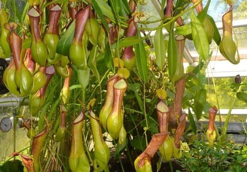 Nephentes sp Planta de jarro en el invernadero del Hortus Botanicus de Ámsterdam