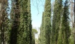 Cupressus sempervirens, Ciprés mediterráneo