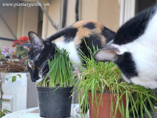 Isis & Osiris comiendo la hierba para gatos