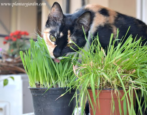 Isis comiendo el kitty grass