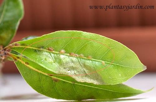 Laurus nobilis con cochinillas en el haz de la hoja no tienen patas quedan adheridas a la hoja