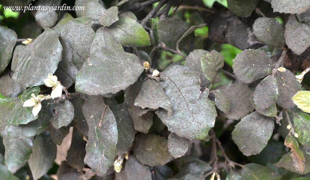 La Negrilla o Fumagina en las plantas es un hongo saprofito sintoma de que la planta tiene alguna plaga como: cochinilla,s pulgones o mosca blanca