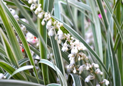 Liriope muscari detalle de floración en espiga blanca