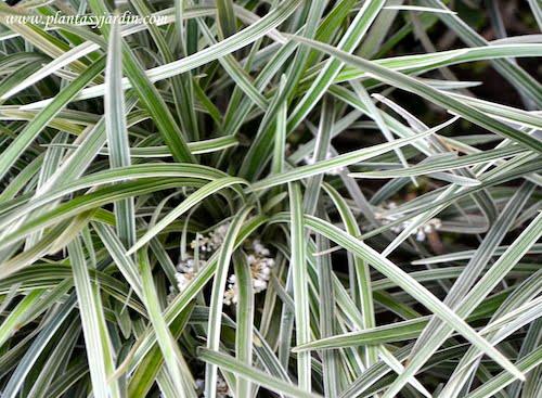 Liriope muscari follaje variegado