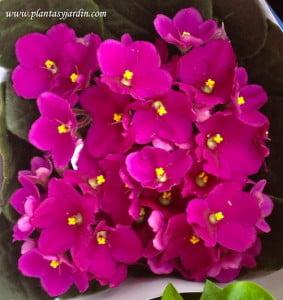 Saintpaulia Violeta africana herbácea perenne