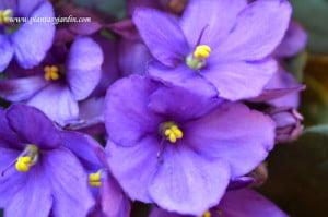 Saintpaulia detalle de flores