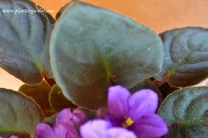 Saintpaulia detalle de hojas pubescentes