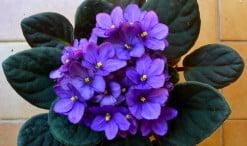 Saintpaulia la Violeta africana en flor de color violeta
