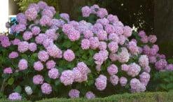 Hydrangea macrophylla en parterres