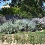 Lavandula dentata arbusto nativo de la region mediterranea occidental y de las costas de la Peninsula Ibérica