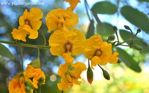 Tipuana tipu detalle de flor de las Tipas