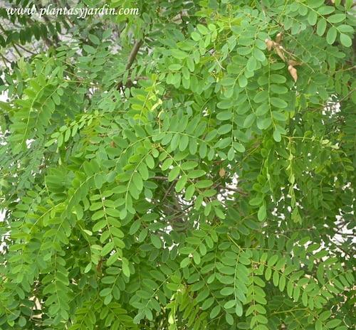Tipuana tipu detalle de hojas compuestas imparipinnadas