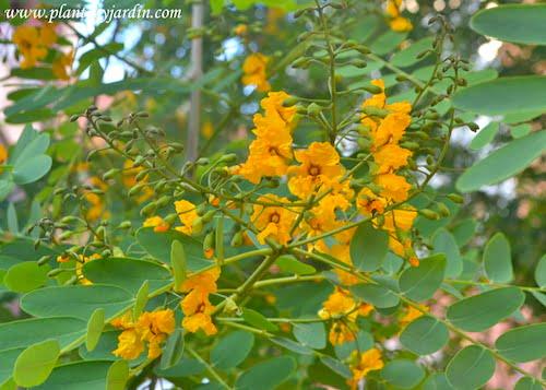 Tipuana tipu detalle de inflorescencia de la Tipa en racimo terminal de flores papilionáceas