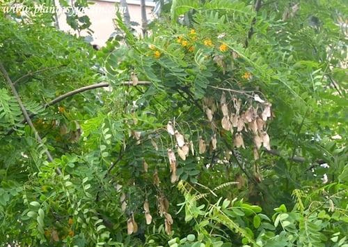 Tipuana tipu el fruto es una sámara con una semilla en el interior