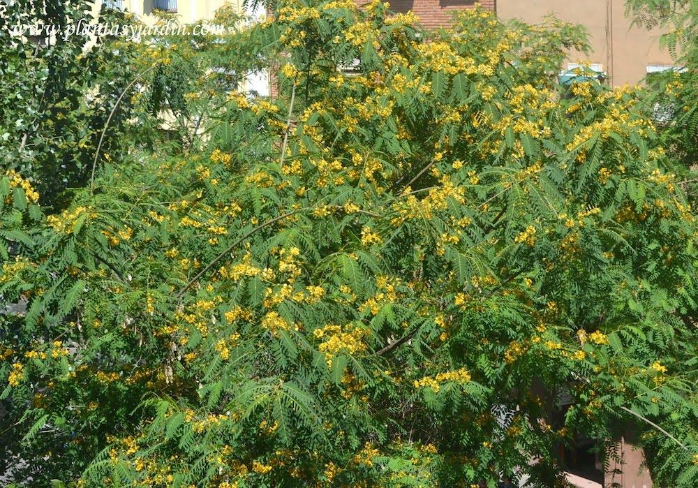 Tipuana tipu la copa de la Tipa florecida en verano