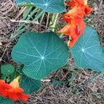 Tropaeolum majus, Taco de reina detalle de hojas peltadas