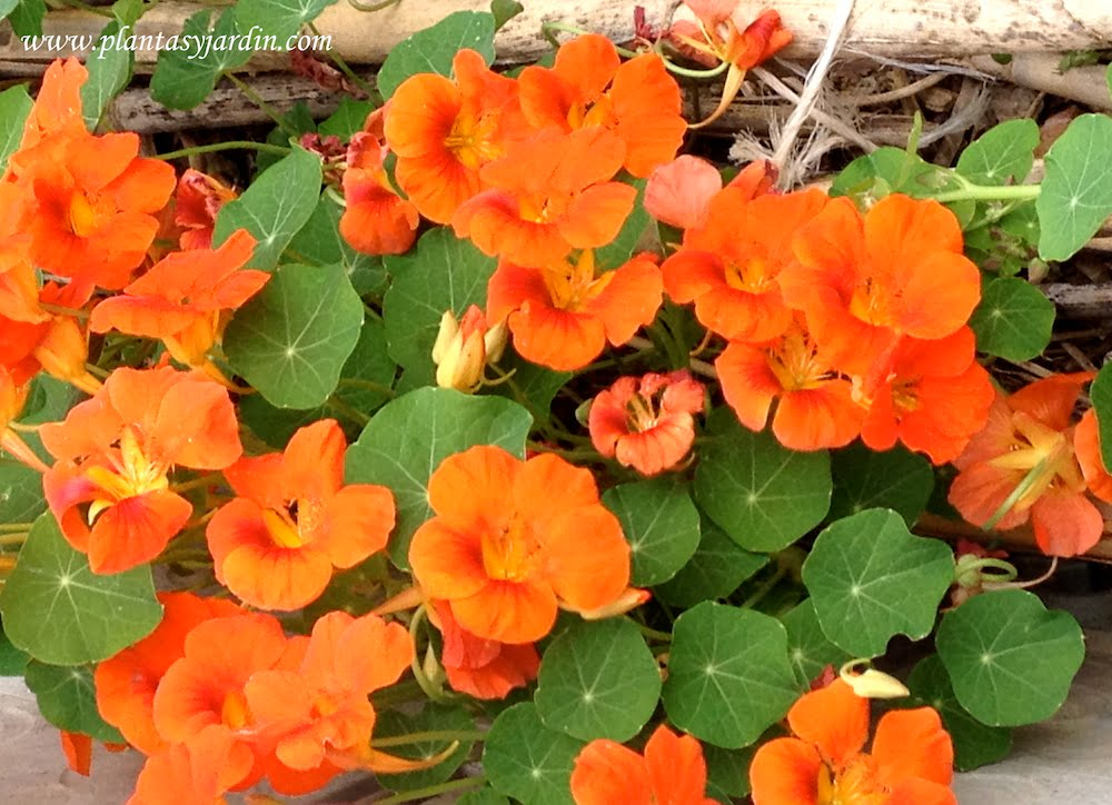 Tropaeolum majus, Taco de reina planta herácea y de hábito rastrero