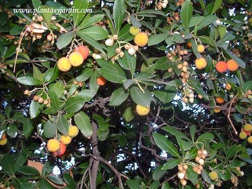 Arbutus unedo-Madroño, detalle de frutos y follaje
