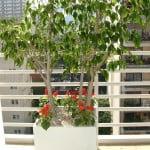 Ficus benjamina con Salvia splendens
