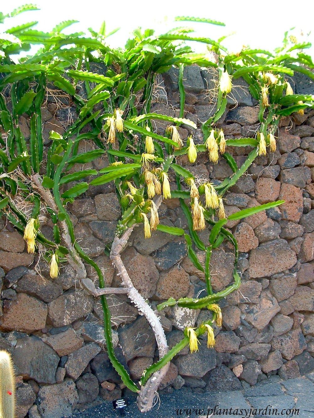Hylocerus undatus, un cactus con hábito trepador